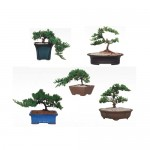 "Juniper on 8"" pots. 6 pcs/box"