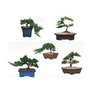 """Juniper on 8"""" pots. 6 pcs/box"""