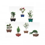 Bonsai Baby Assortment